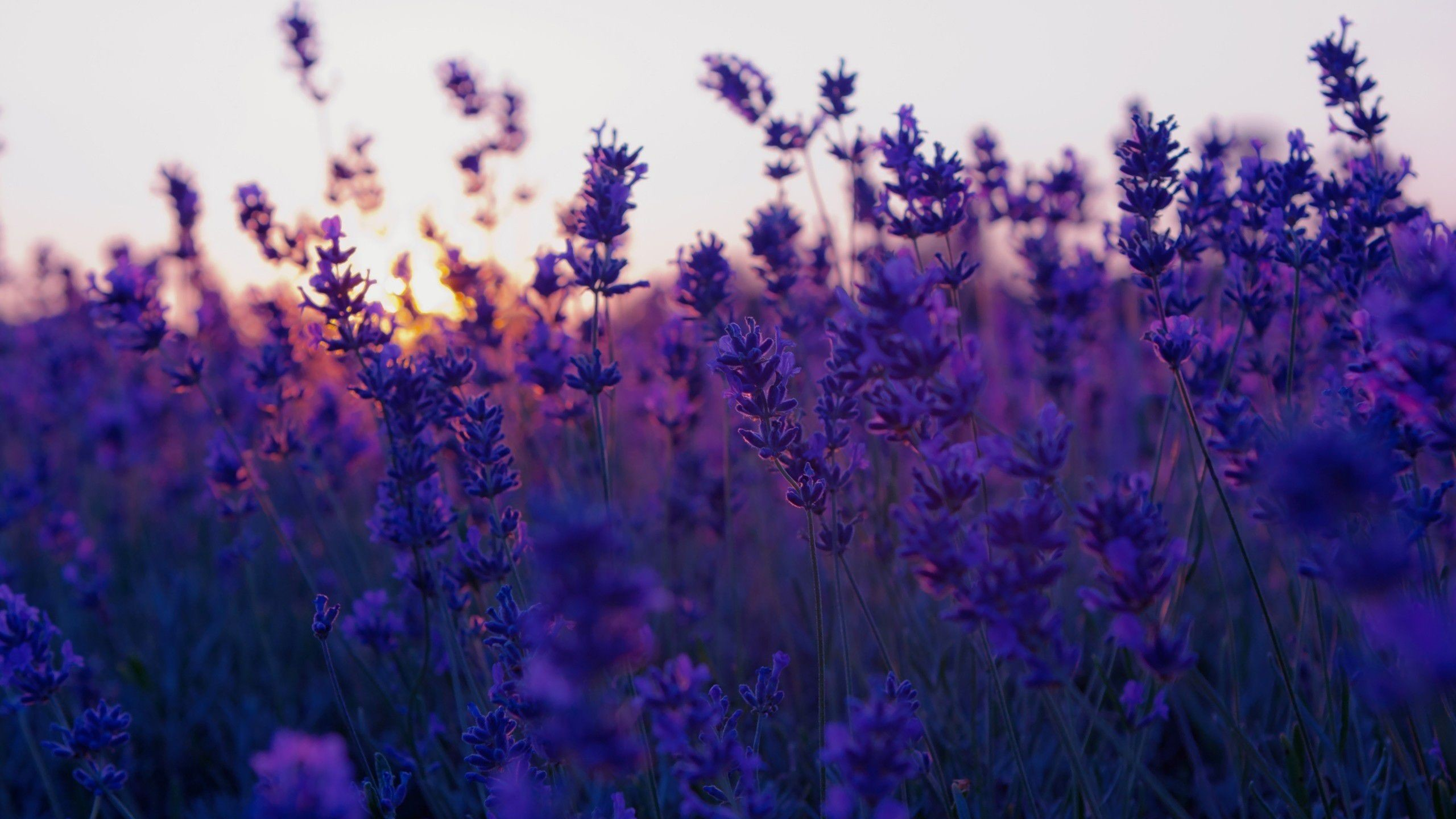 2560x1440 Lavender Background