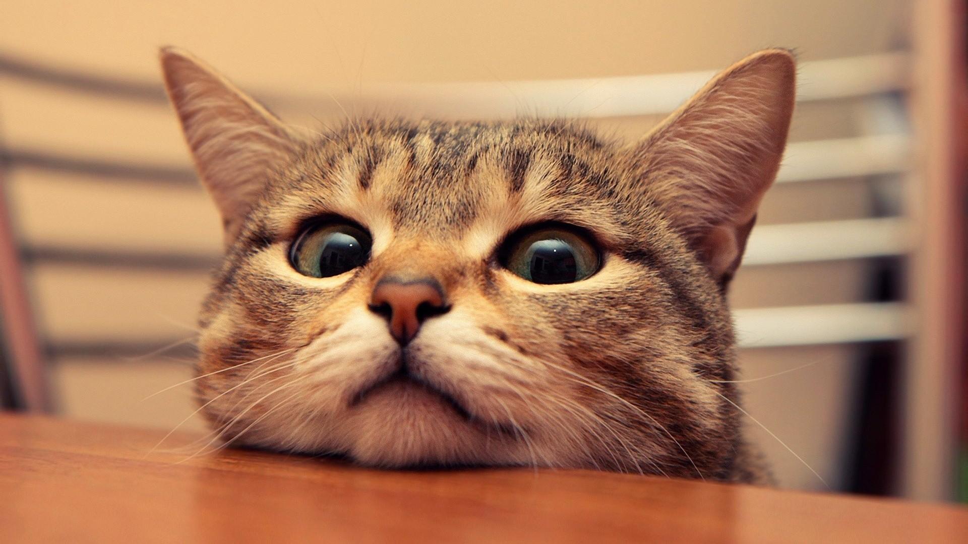 Top Wallpaper Macbook Cat - 1071501-most-popular-funny-cat-desktop-wallpaper-1920x1080-for-macbook  HD_895677.jpg