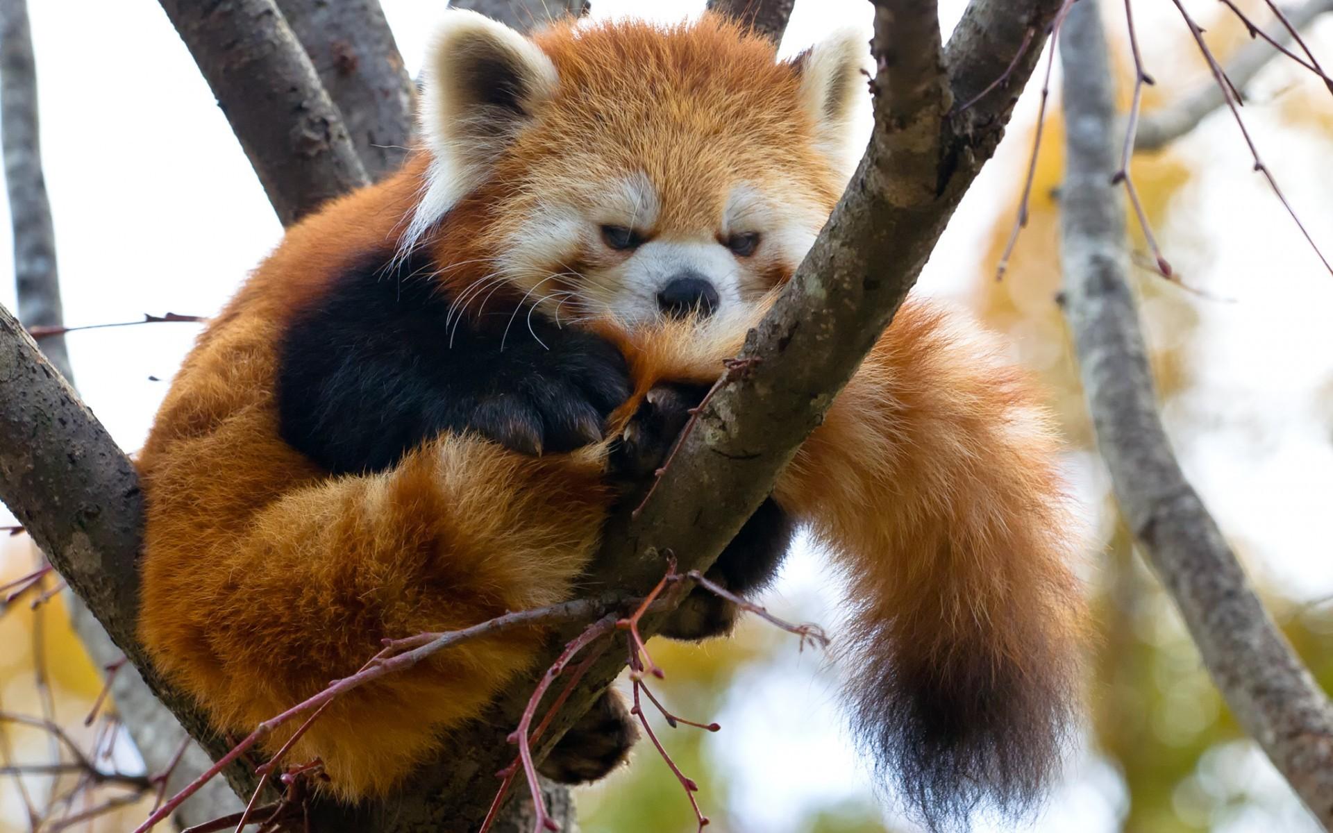 red panda wallpapers 63 images