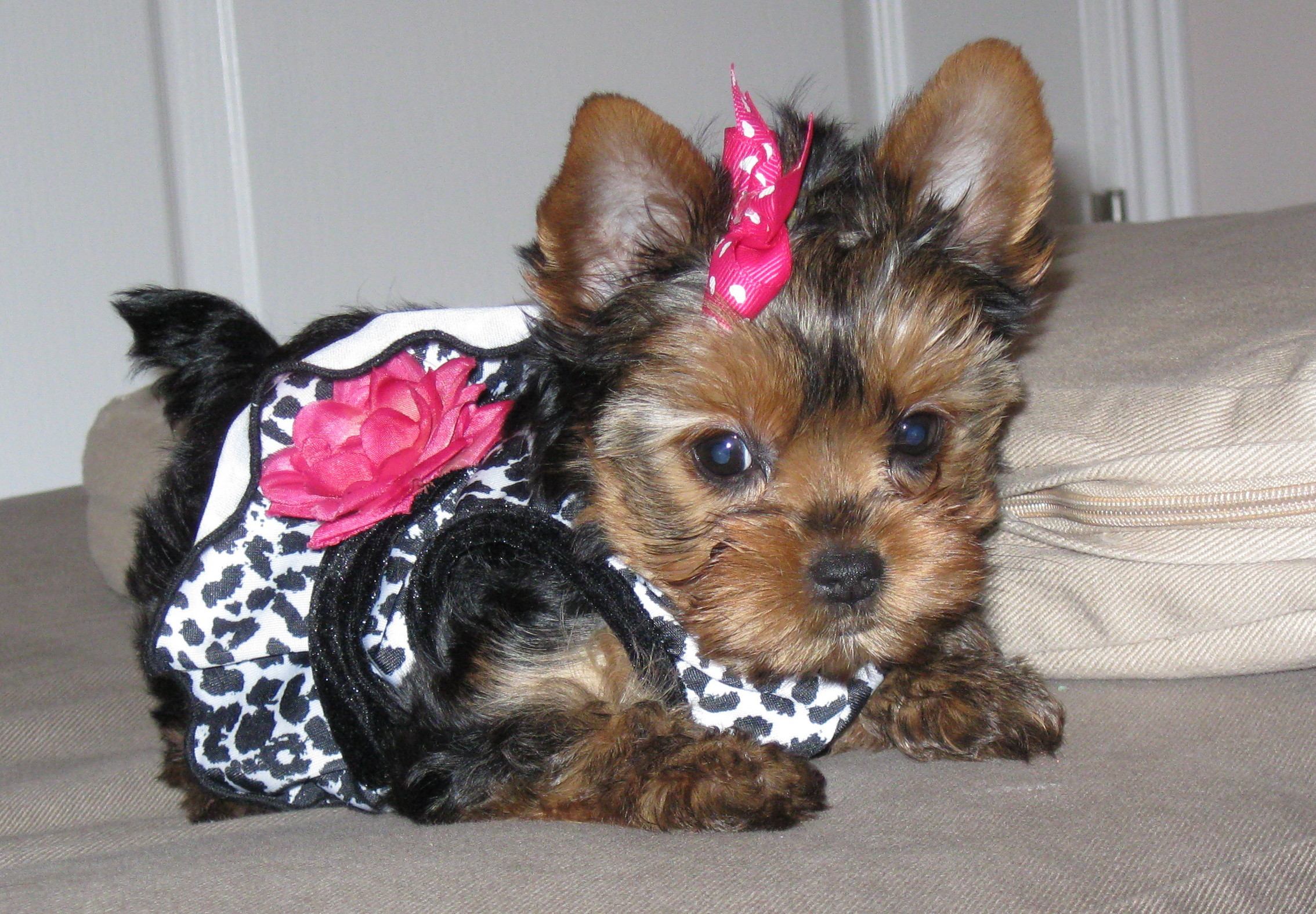 2268x1576 yorkie and yorkshire terrier 168 - Yorkie And Yorkshire Terrier