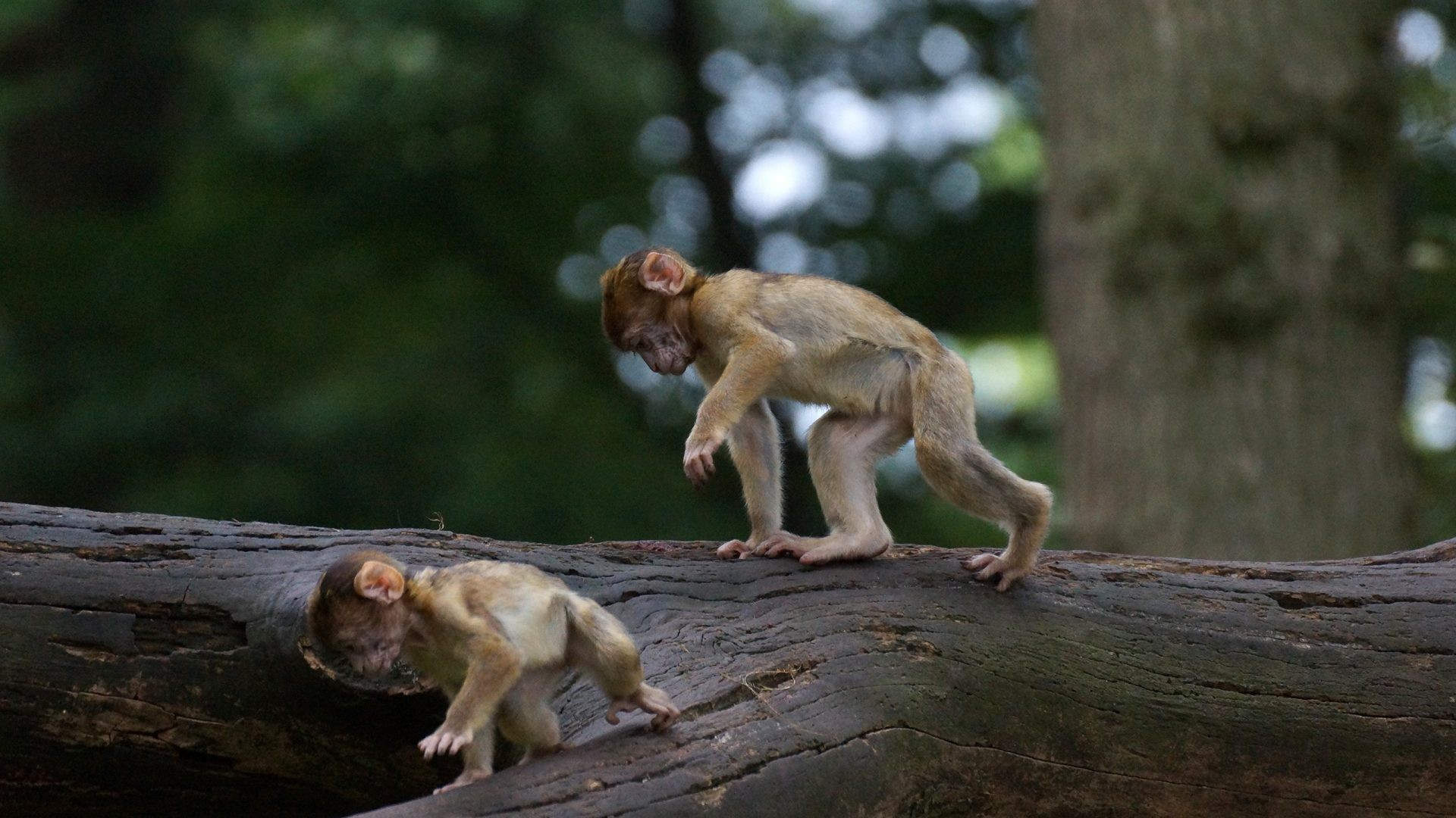 1920x1080 Monkey Tag - Small Monkey Baby Cute Animals Doing Funny Things for HD 16:9