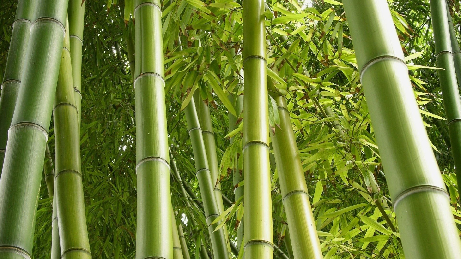 1920x1080 Jungle Green Bamboo Nature Plants Stunning Desktop Backgrounds - 1920x1440