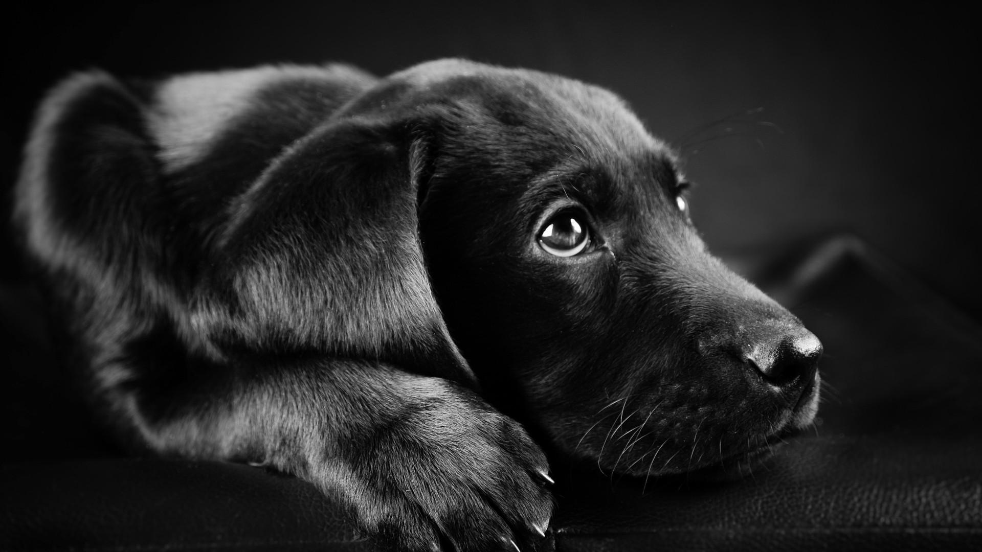 Animals Dog Filter Wallpapers Hd Desktop And Mobile: Labrador Retriever Wallpaper (71+ Images