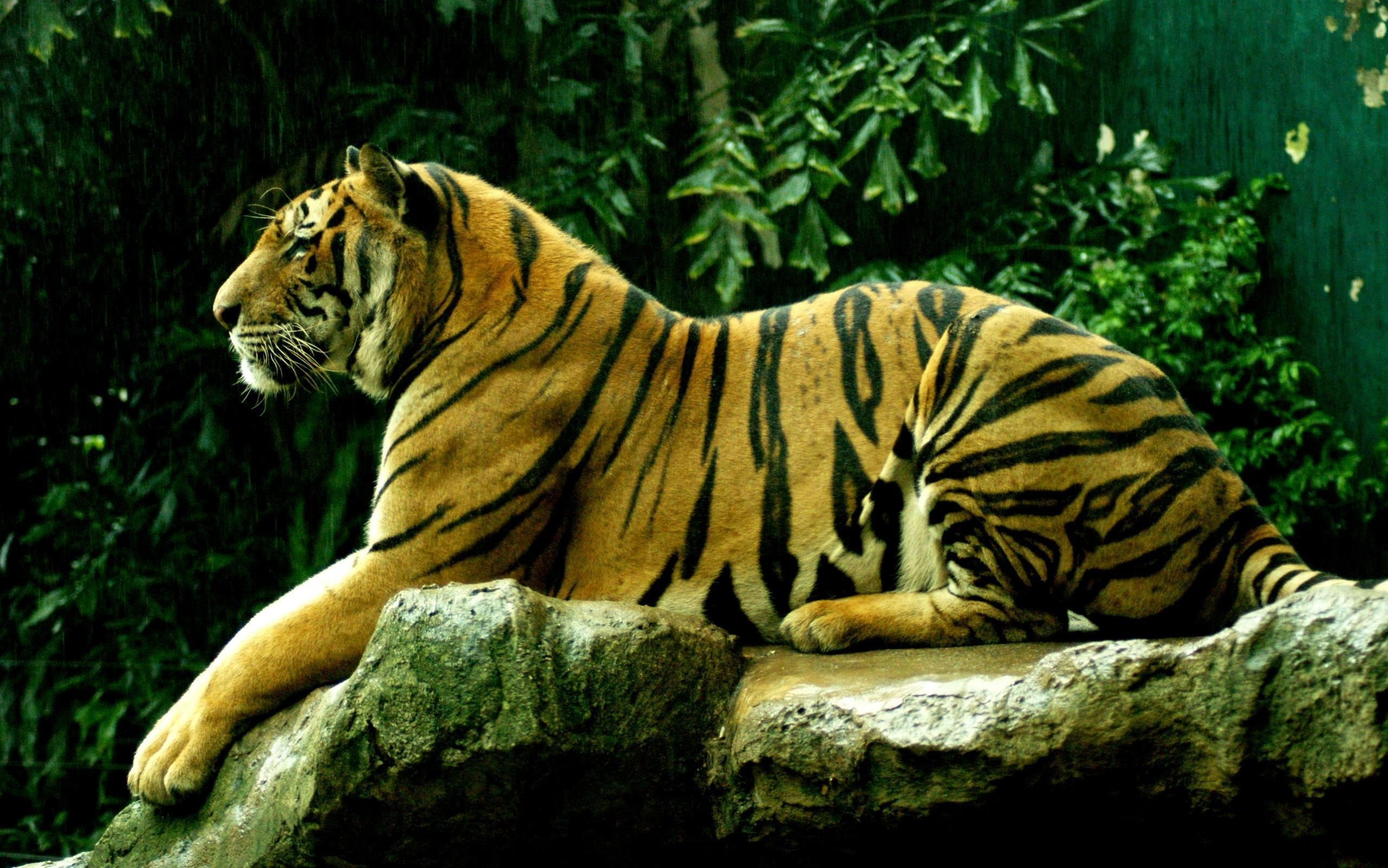 2560x1600 wild cat, big cat, tiger, rocks