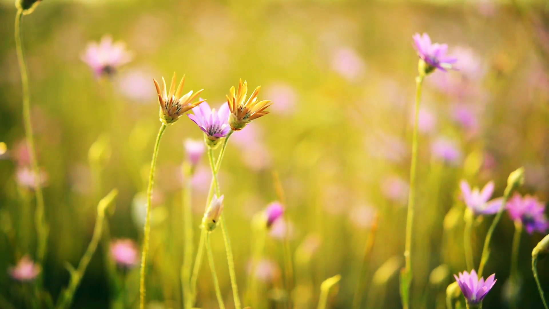 1920x1080 Beautiful wild flowers on meadow in the summer sunbeams. Beautiful spring  background. Closeup Full HD video Stock Video Footage - VideoBlocks