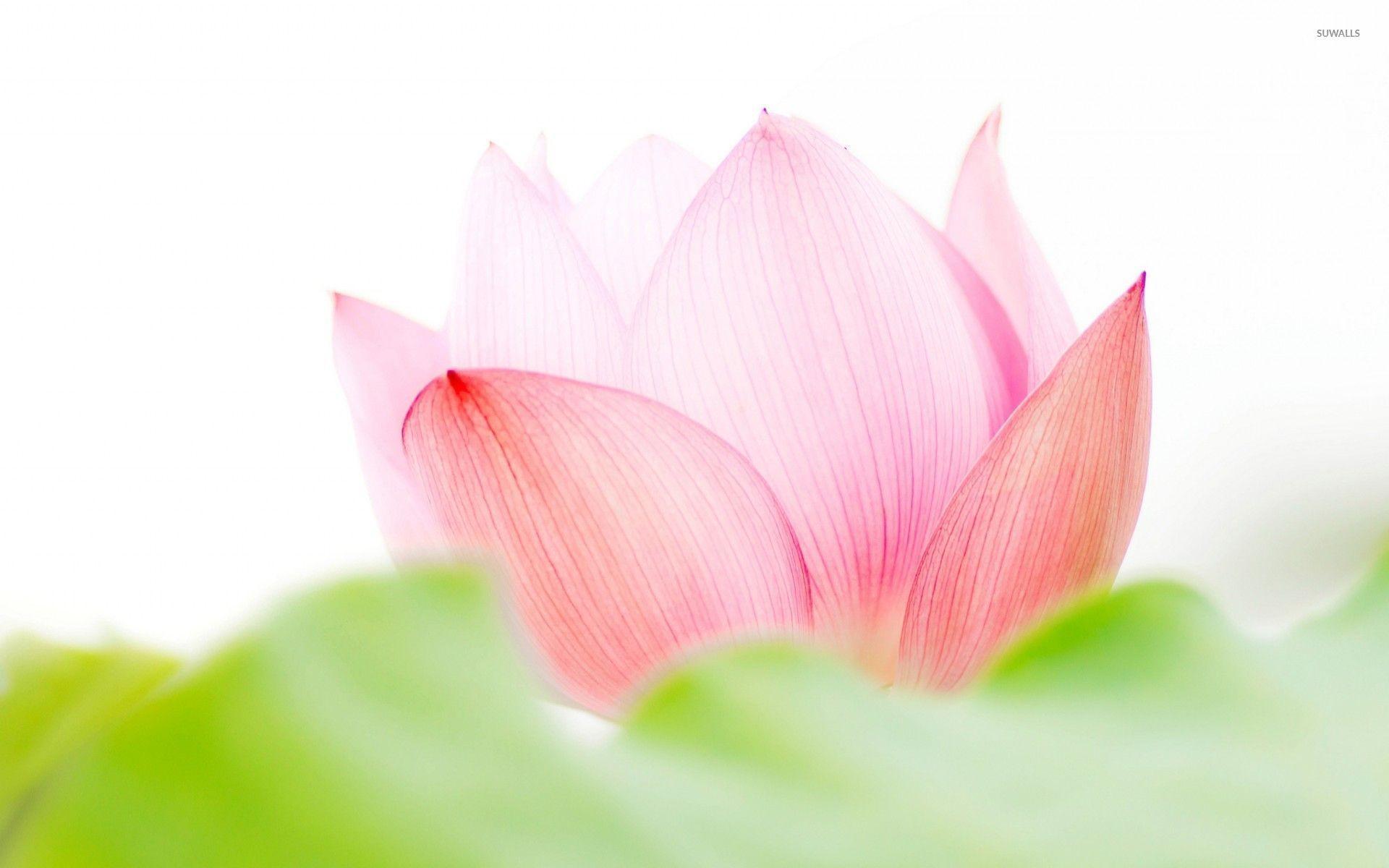 Lotus flower background 54 images 2178x1242 lotus flower clipart no background clipart clipart clipart izmirmasajfo