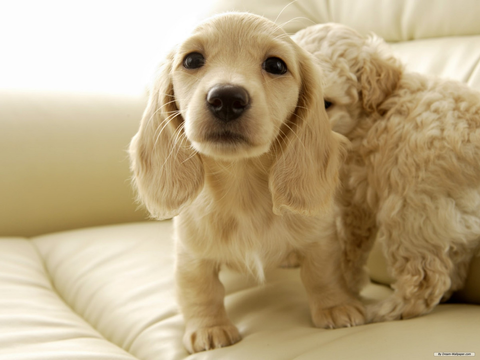 1920x1440 Creamy Miniature Dachshund Wallpaper