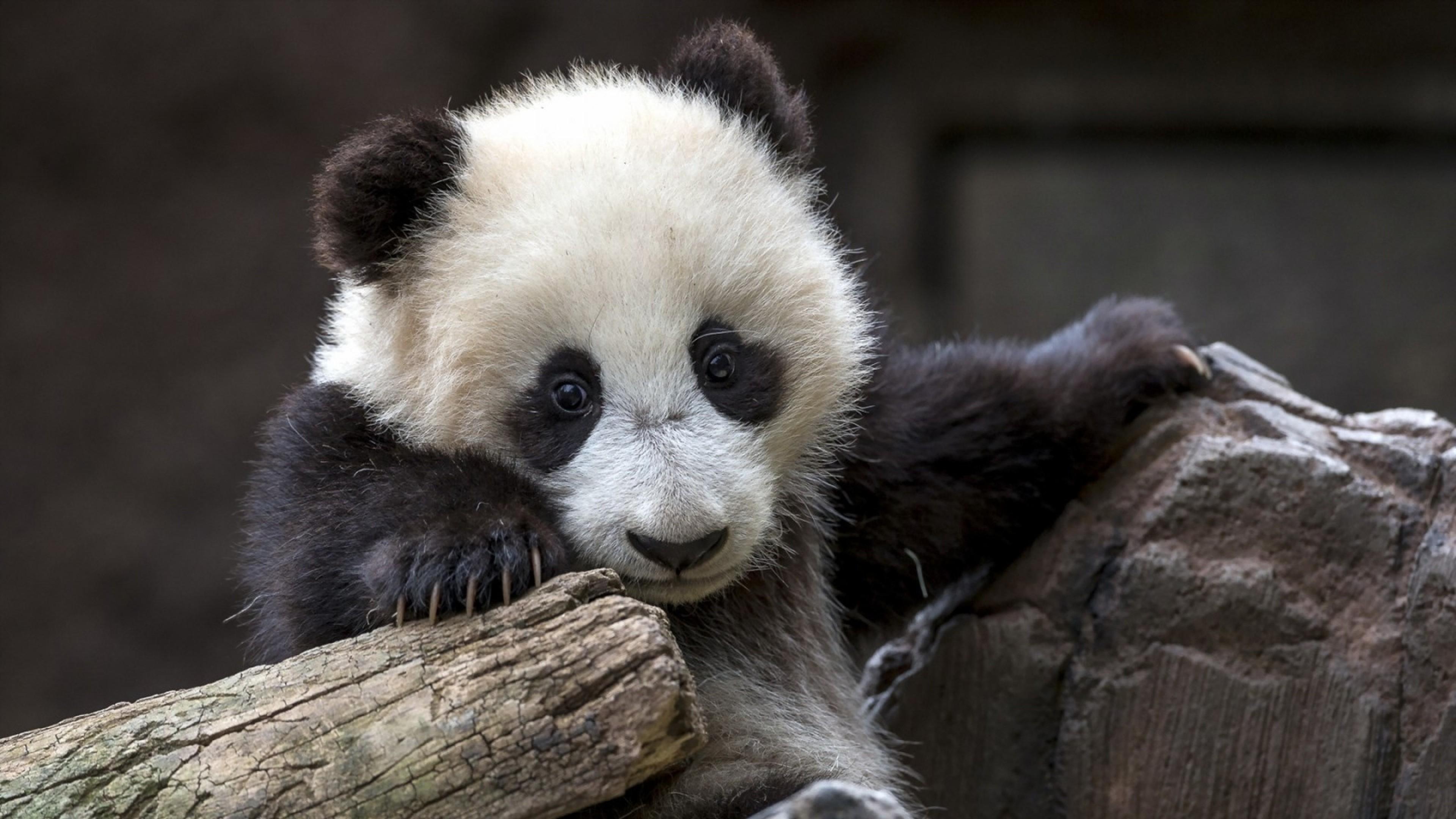 Panda Bear Background (44+ Images