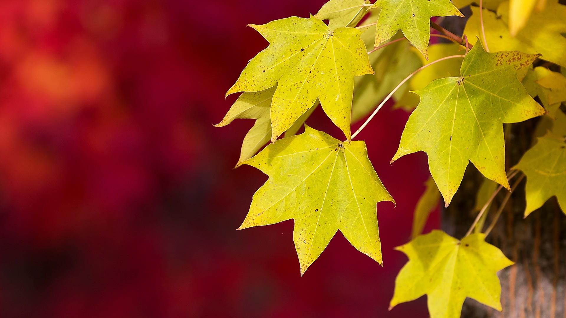 Yellow Birch Autumn HD Desktop Wallpaper for K Ultra HD TV