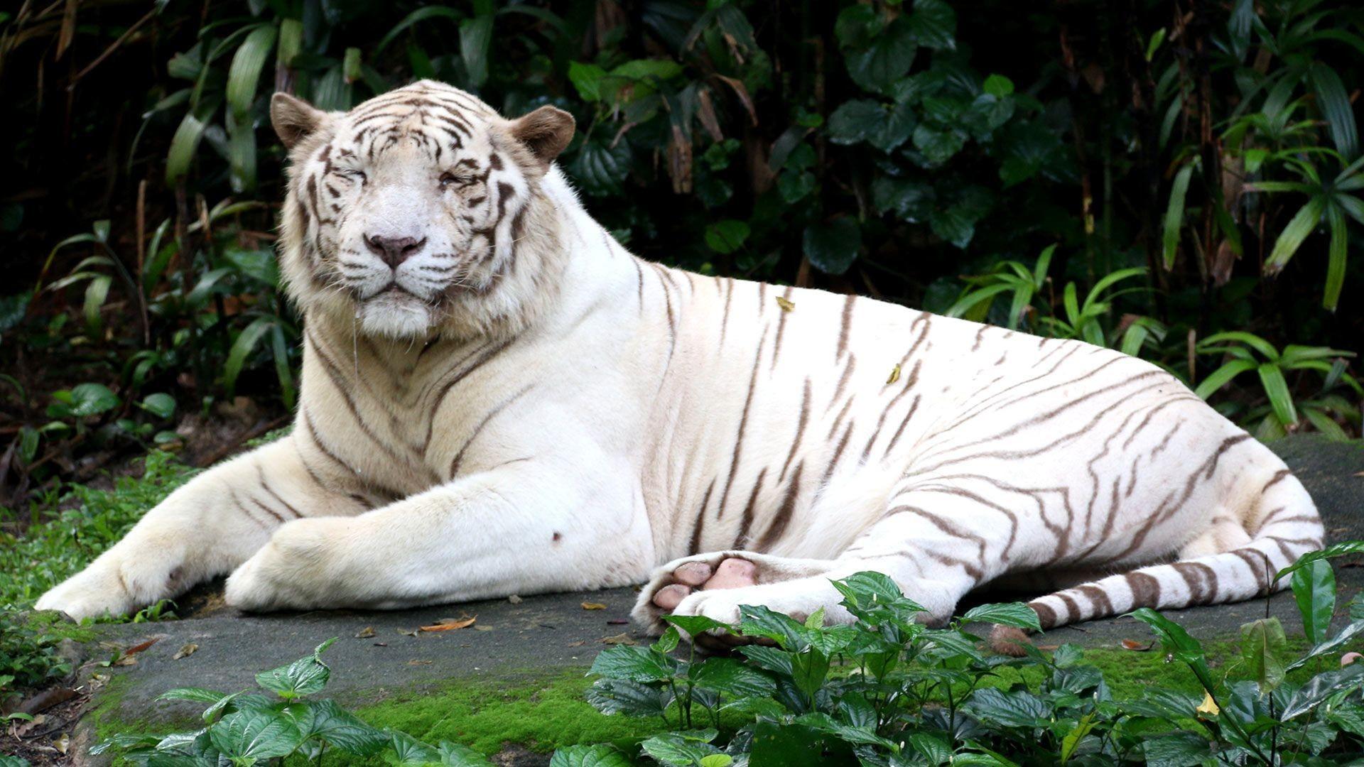 Tiger HD Wallpapers For Desktop Group