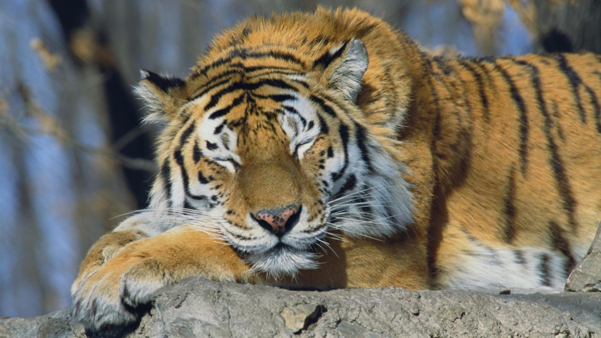 1920x1080 Tiger Wallpaper Full Hd 65 Images