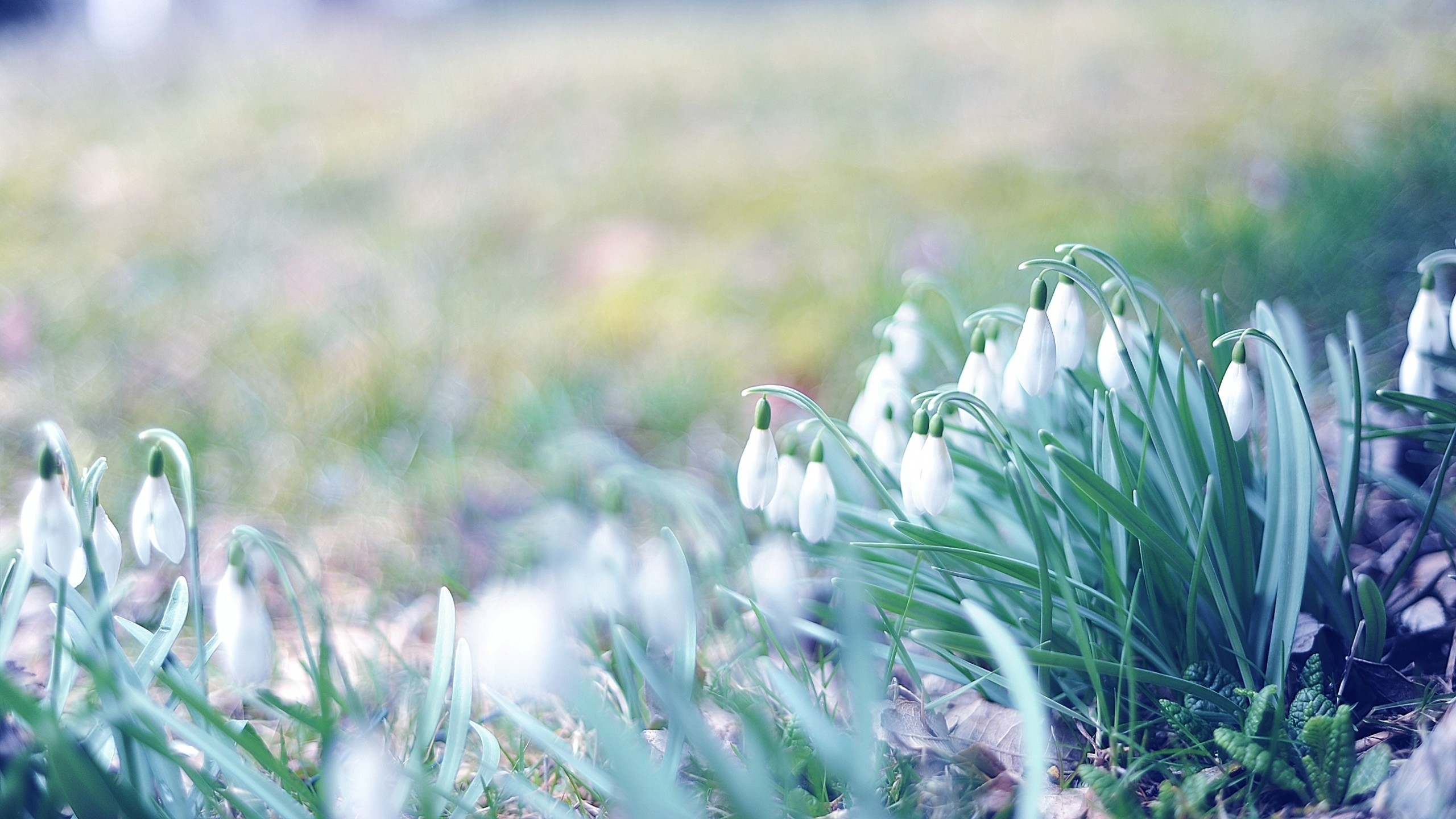 2560x1440 Preview wallpaper spring, snowdrops, grass, light, march