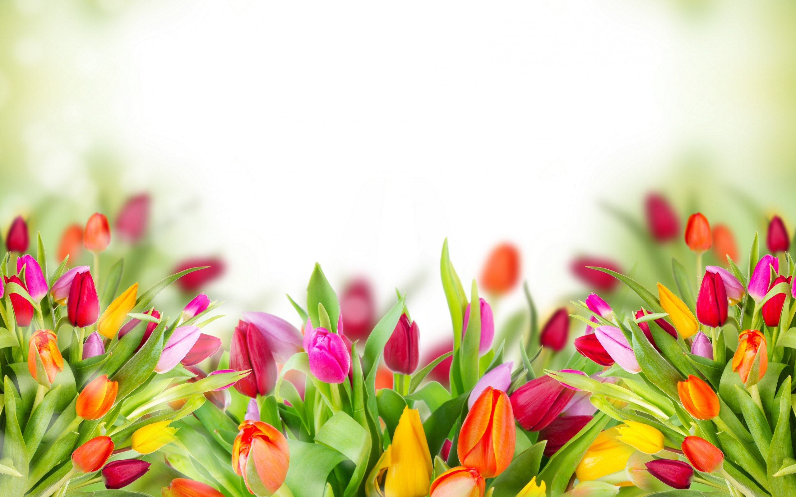 2560x1600 Full HD p Tulips Wallpapers HD Desktop Backgrounds x