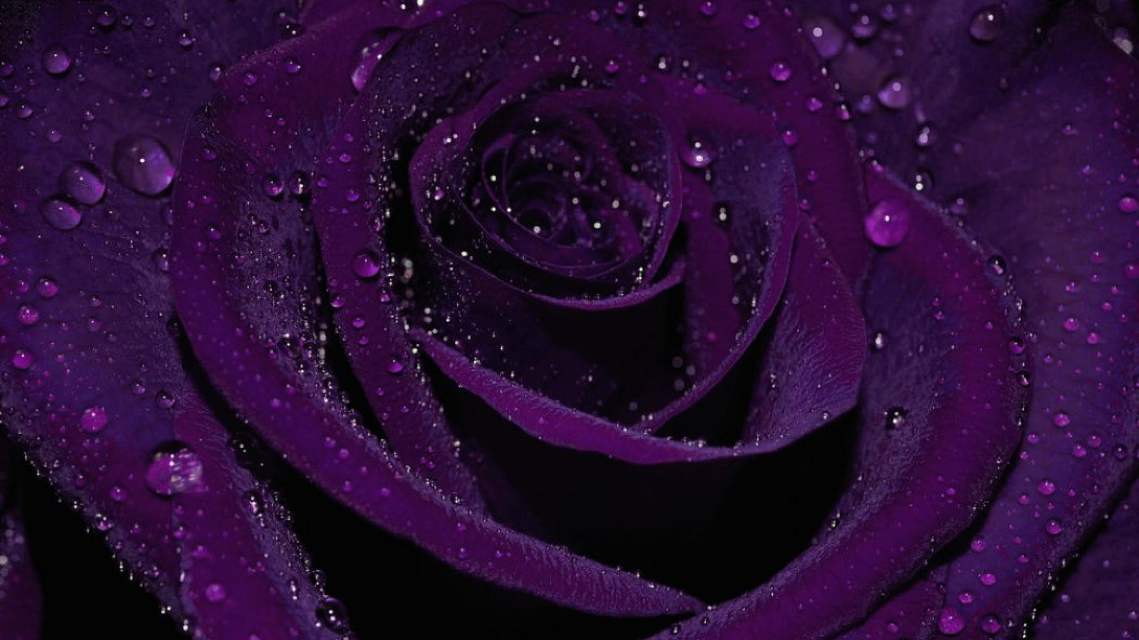 3840x2160 Purple Rose Wallpapers Images Photos Pictures Backgrounds