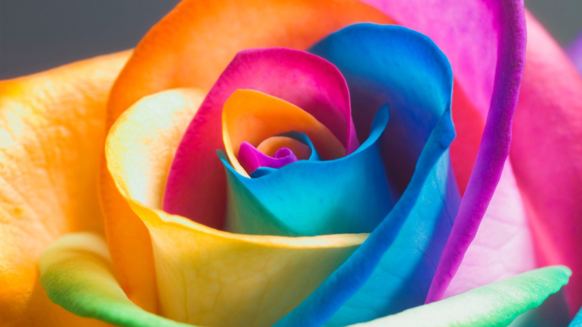 1920x1080 HQ RES Wallpapers of Colorful Rose