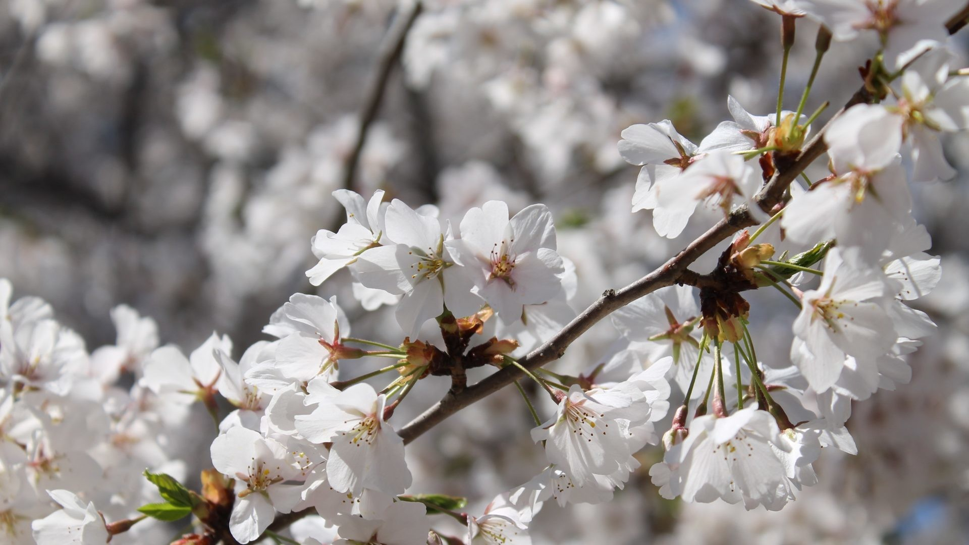 1920x1080 Innocent Tag - Cherry Pretty Branch Floral Clouds Lovely Beauty Beautiful  Sakura Blossom Sweet Nice Innocent