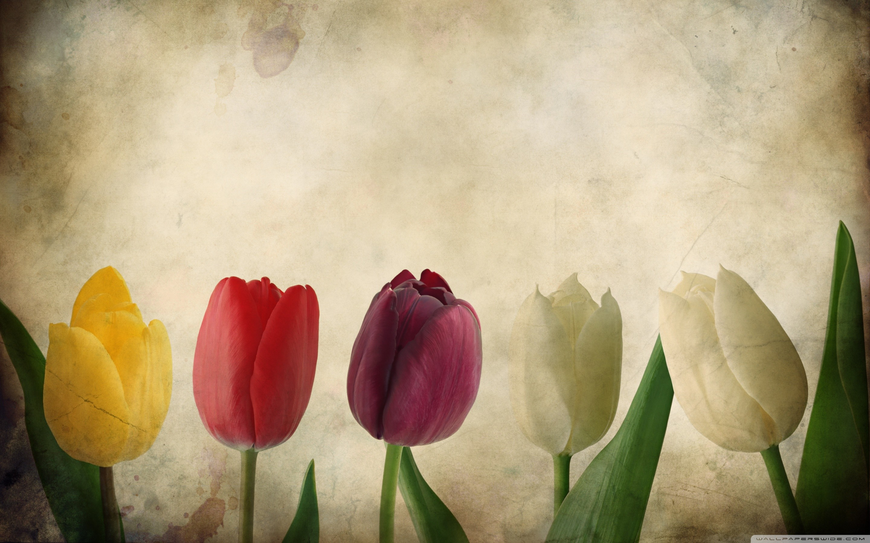 2880x1800 tulip-flower | Tulip | Pinterest | Tulips flowers, Flower images wallpapers  and Flower images