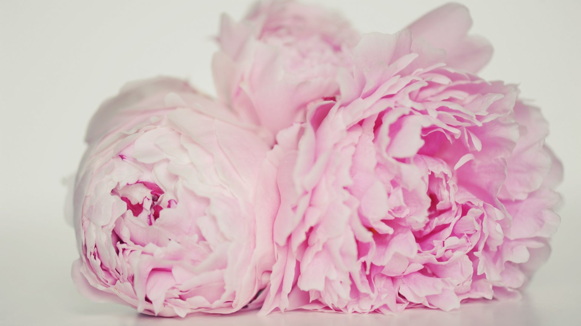 pink peony flowers wallpaper - flowers healthy