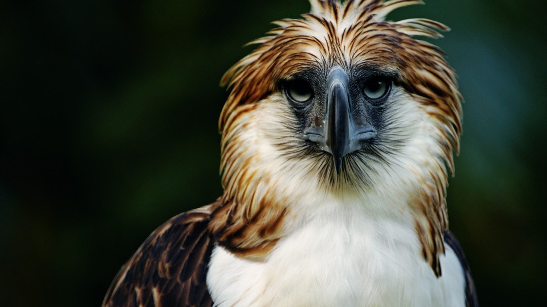 1920x1080 Preview wallpaper eagle, philippines, bird, head, feathers, beak, carnivore