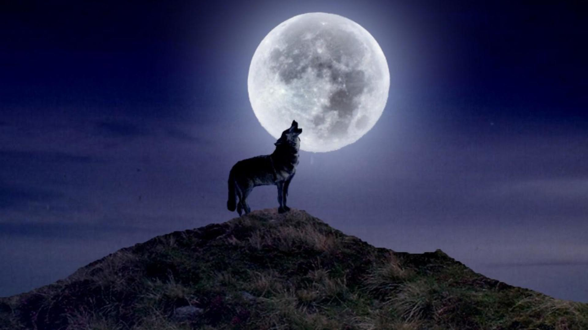 1920x1080 Howling Wolf Wallpaper Widescreen