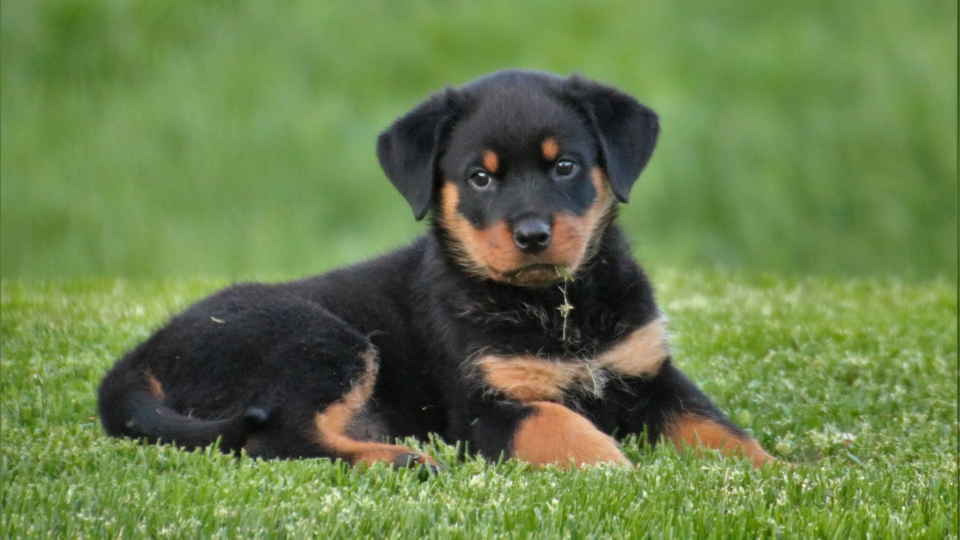 Rottweiler Screensavers and Wallpaper (47+ images)