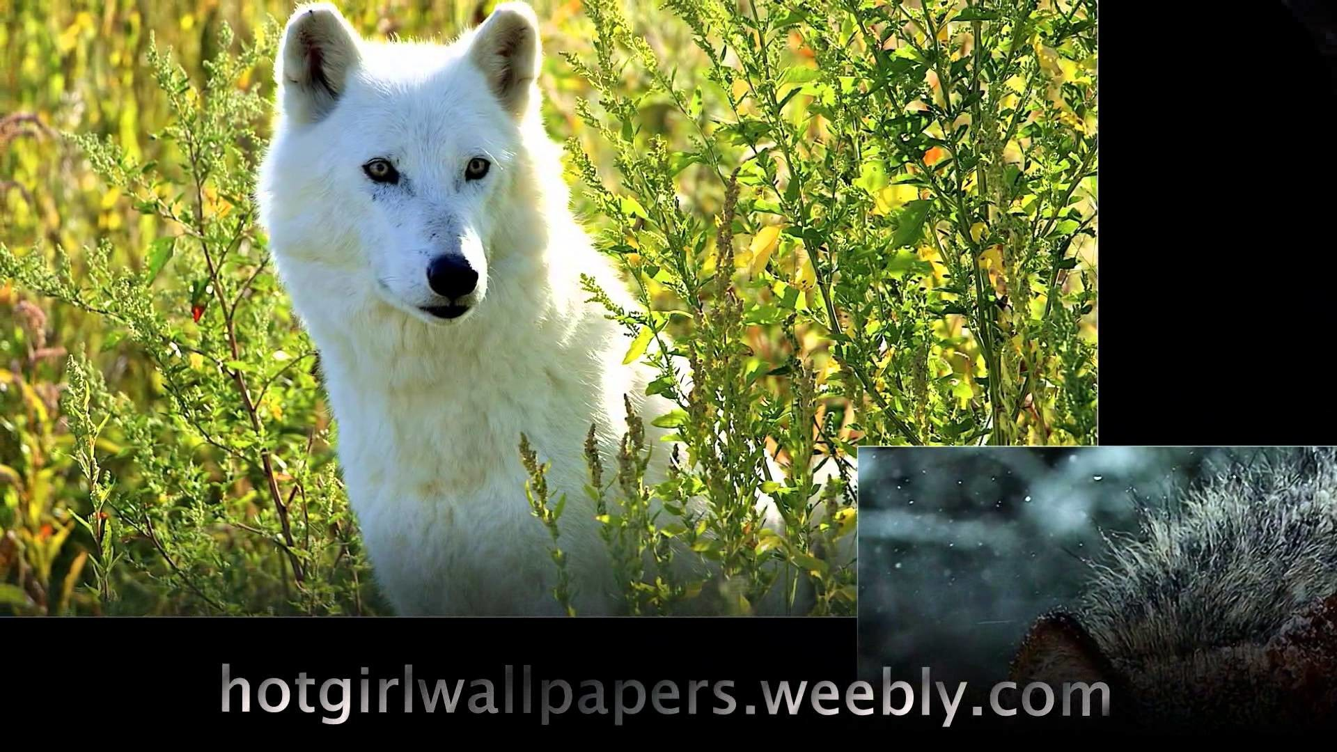 1920x1080 Wolves Wallpaper amazing cute images of wolves where do wolf live cool  photography - YouTube