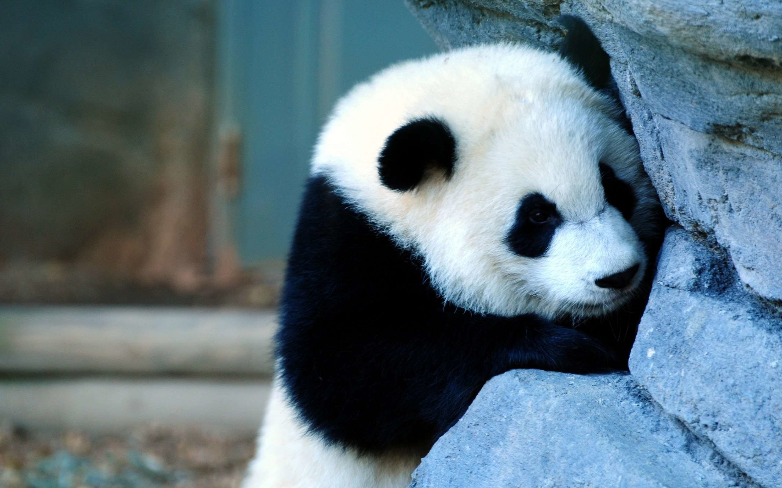 2560x1600 Animals For > Cute Panda Wallpaper Iphone