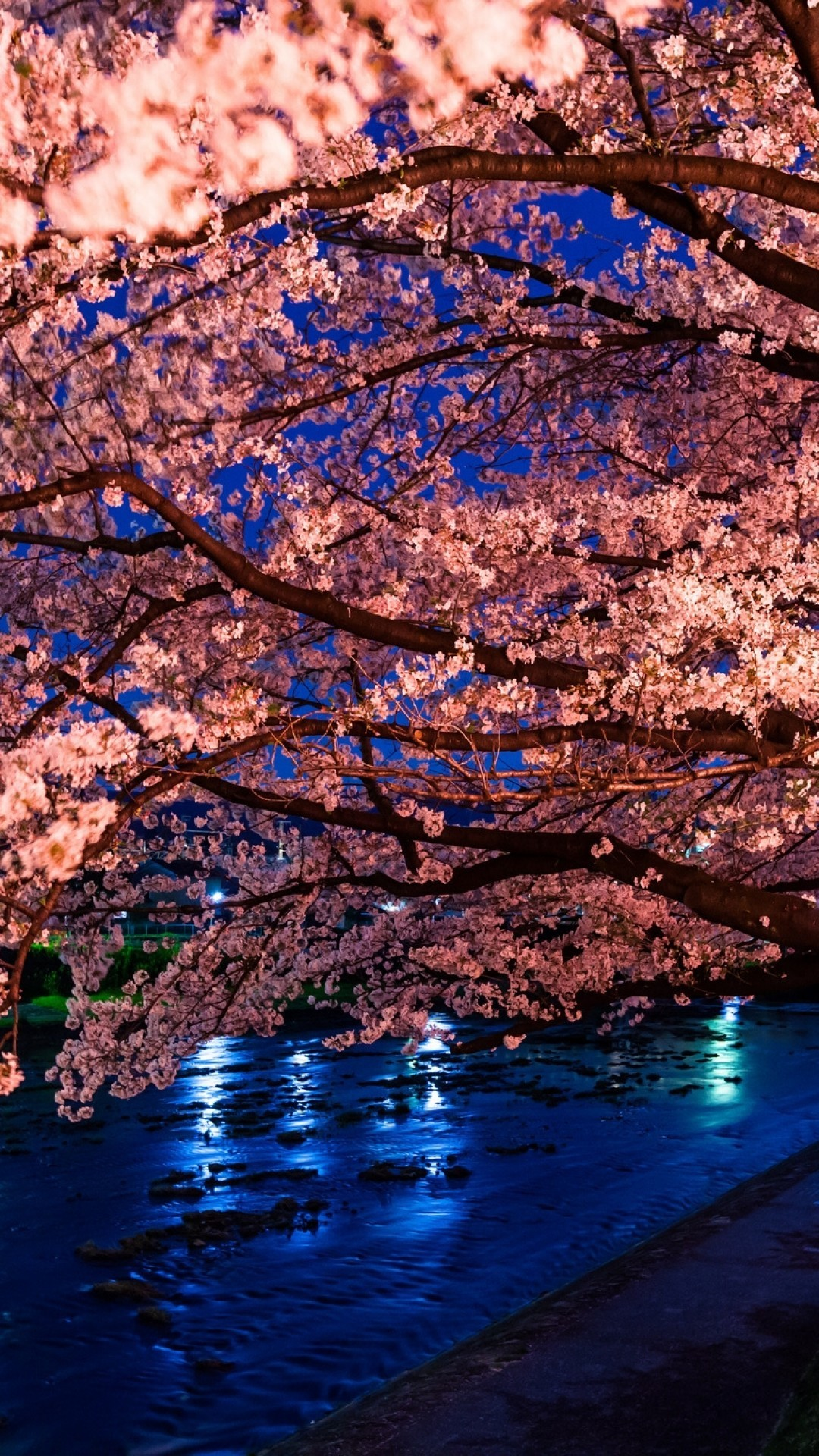 Simple Wallpaper Night Cherry Blossom - 469659  Perfect Image Reference.jpg