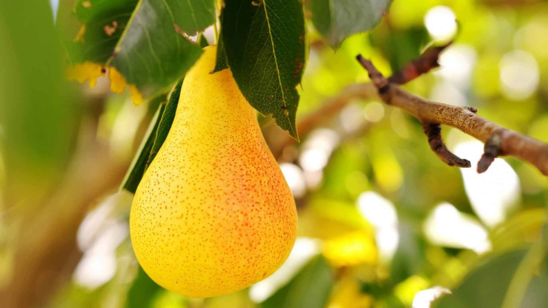 1920x1080 Fruits Nature Pear Fruit Tree Beautiful Pictures Wallpapers