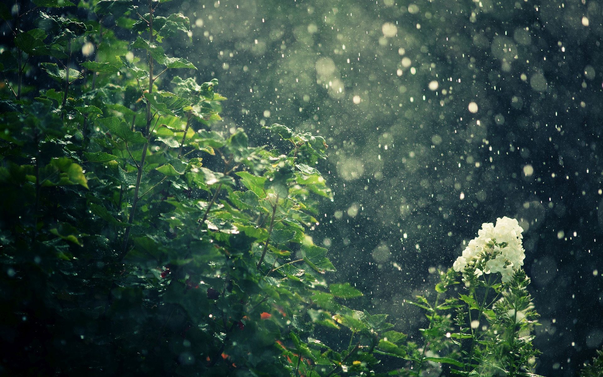 1920x1200 ... Raining on the flowers HD Wallpaper