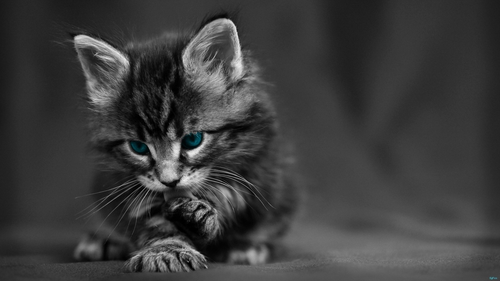 1920x1080  Wallpaper cat, black white, blue, eyes, baby, beautiful