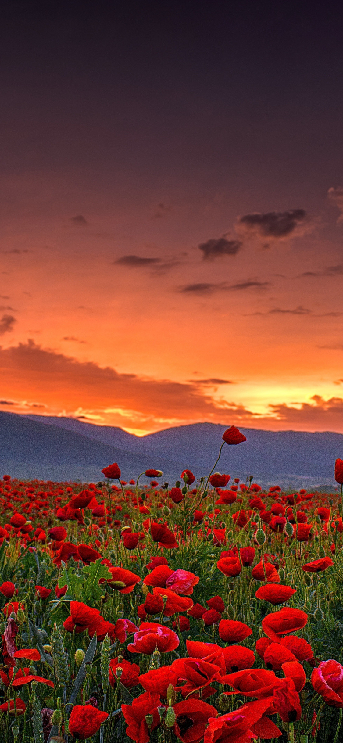 1125x2436 Poppy farm, sunset, landscape, nature,  wallpaper