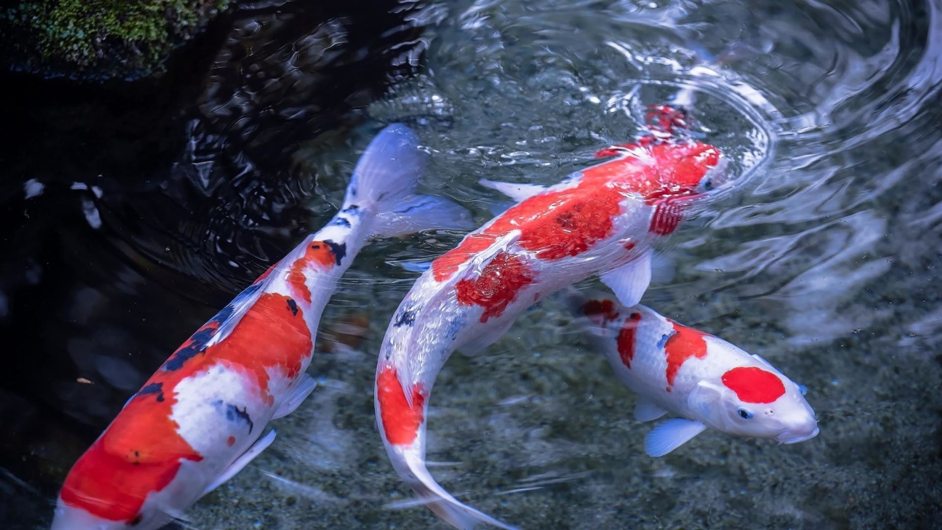 Koi Fish Live Wallpaper 56 Images