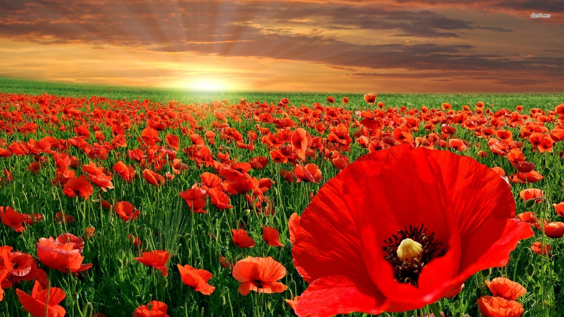 Red Poppy Wallpaper 58 Images