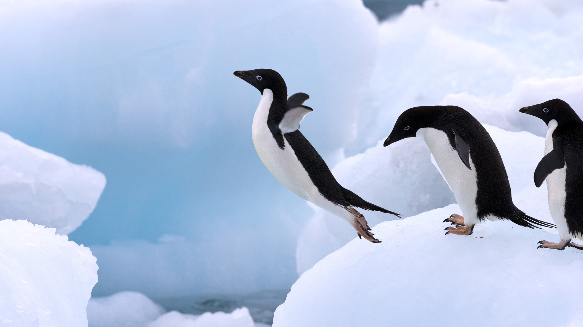1920x1080 Adelie Penguin Wallpapers Pictures Photos Pics Images Desktop