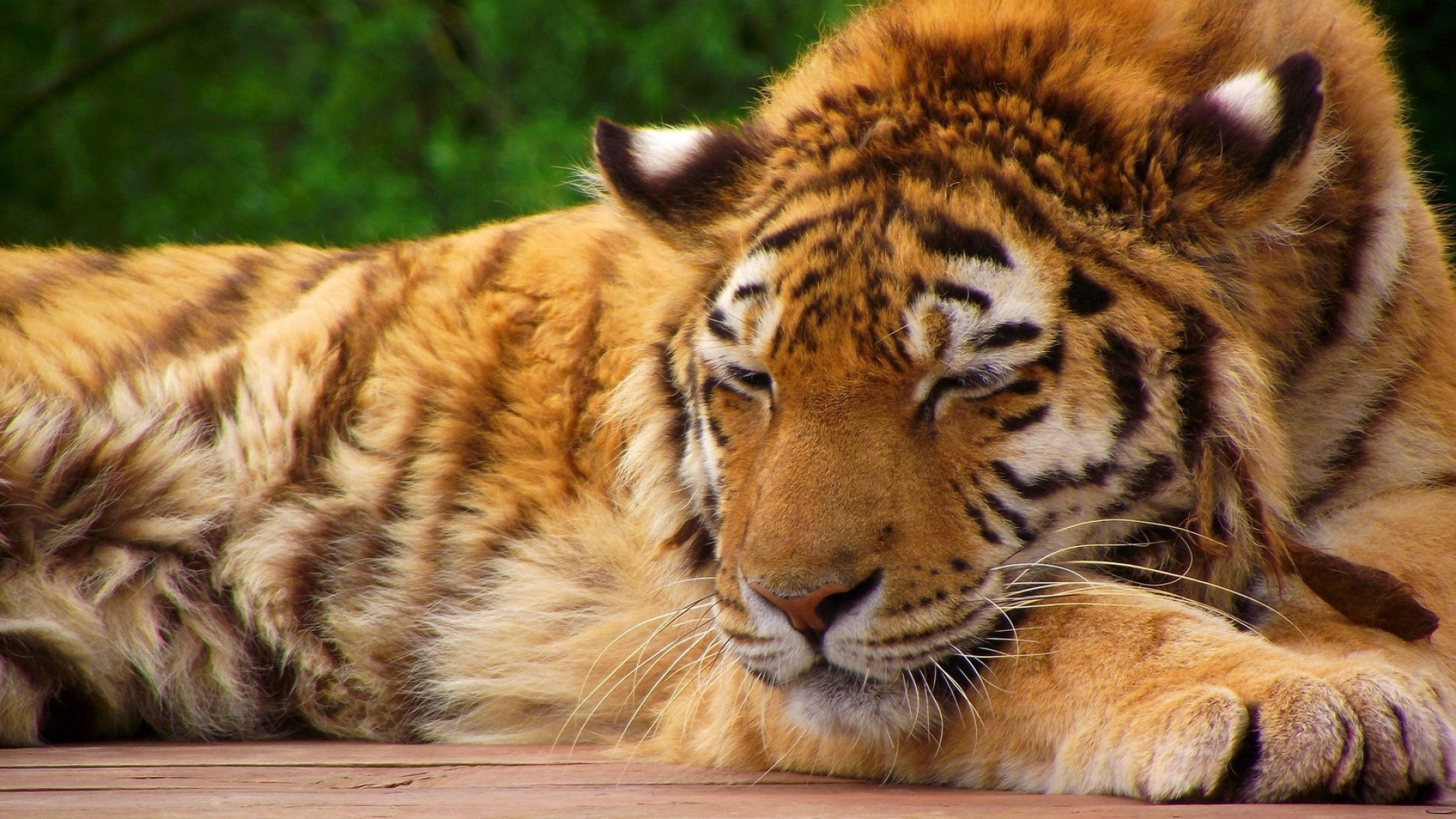 1920x1080  Wallpaper tiger, face, sleeping, lying, big cat