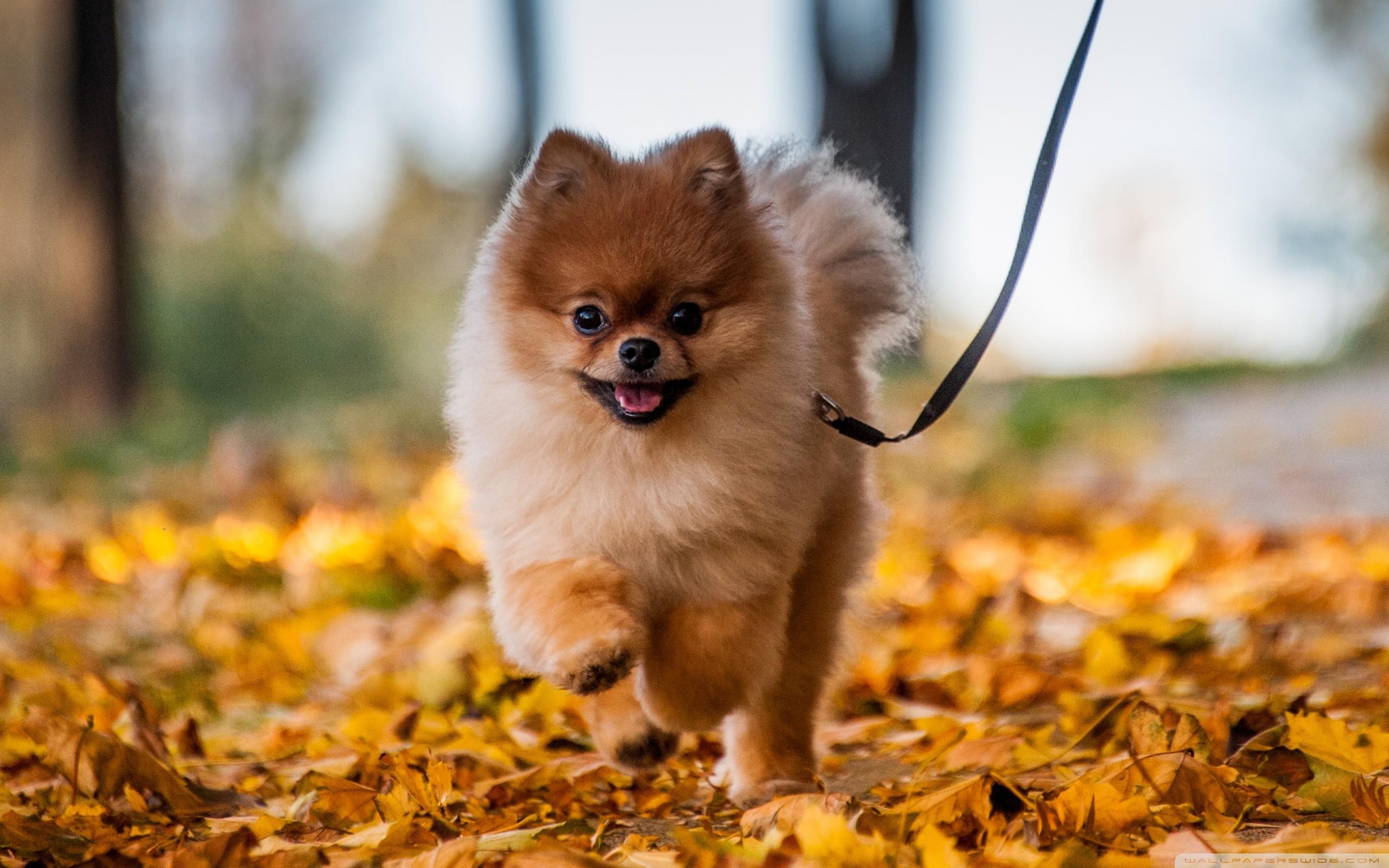 Pomeranian Wallpaper (61+ Images