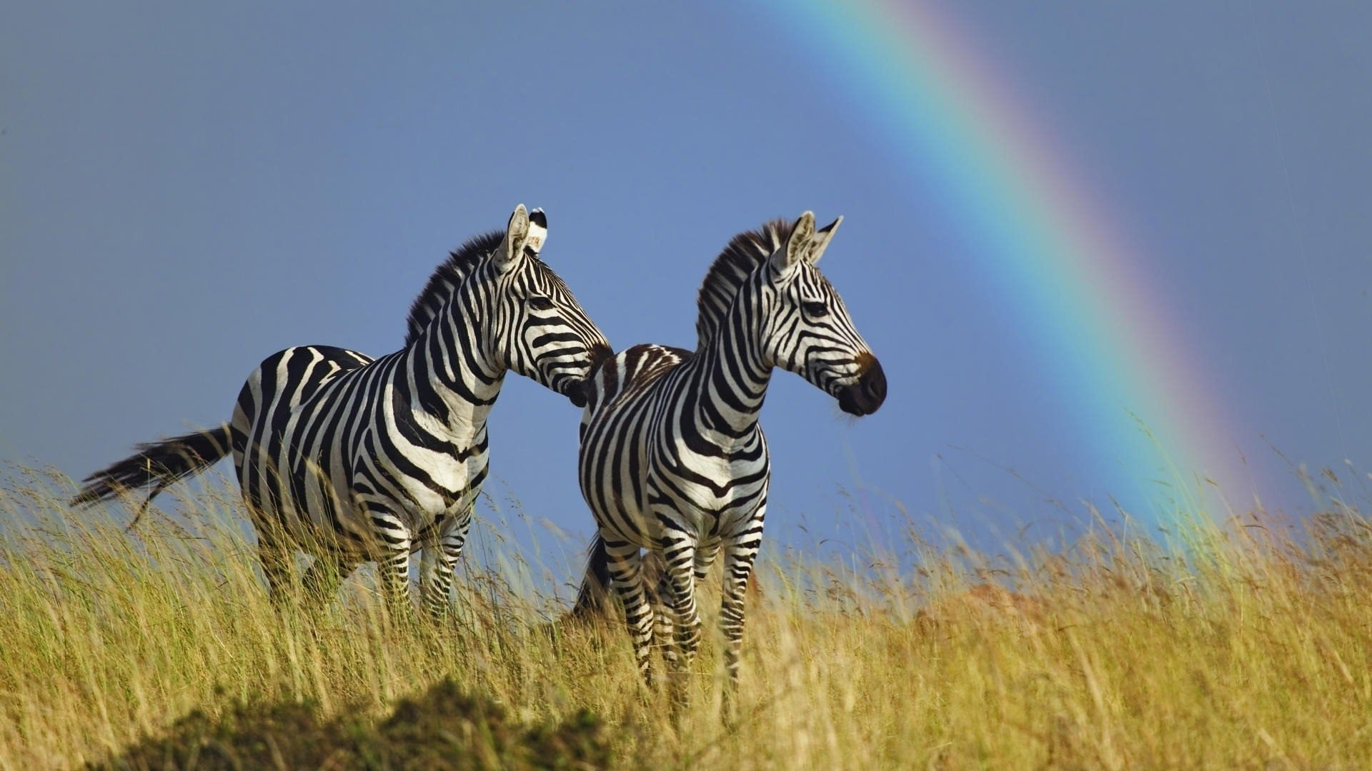 Rainbow Zebra Wallpaper (67+ images)