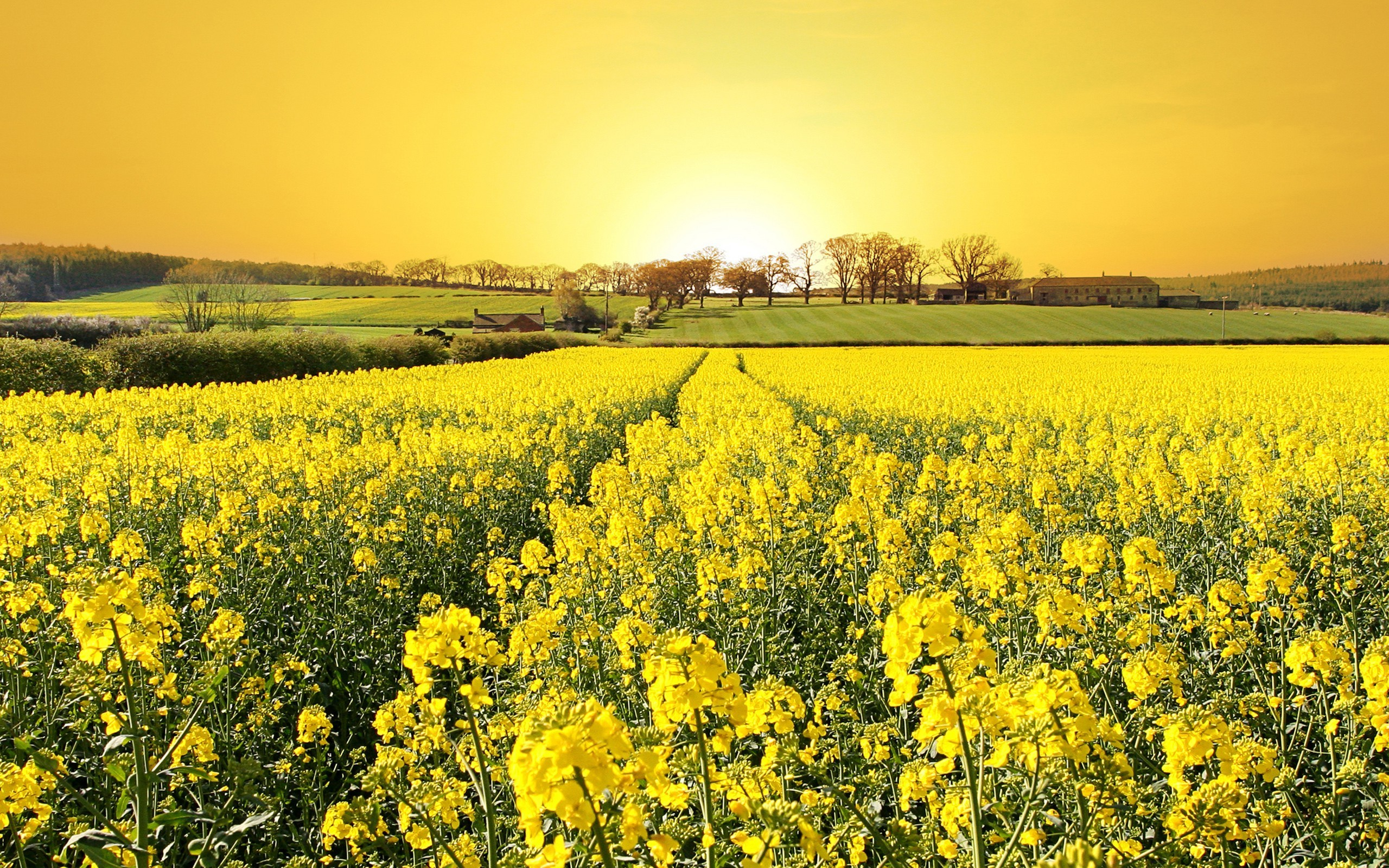 2560x1600 Rapeseed, Landscape, Field, Flowers, Yellow Flowers, Sunlight Wallpapers HD  / Desktop and Mobile Backgrounds