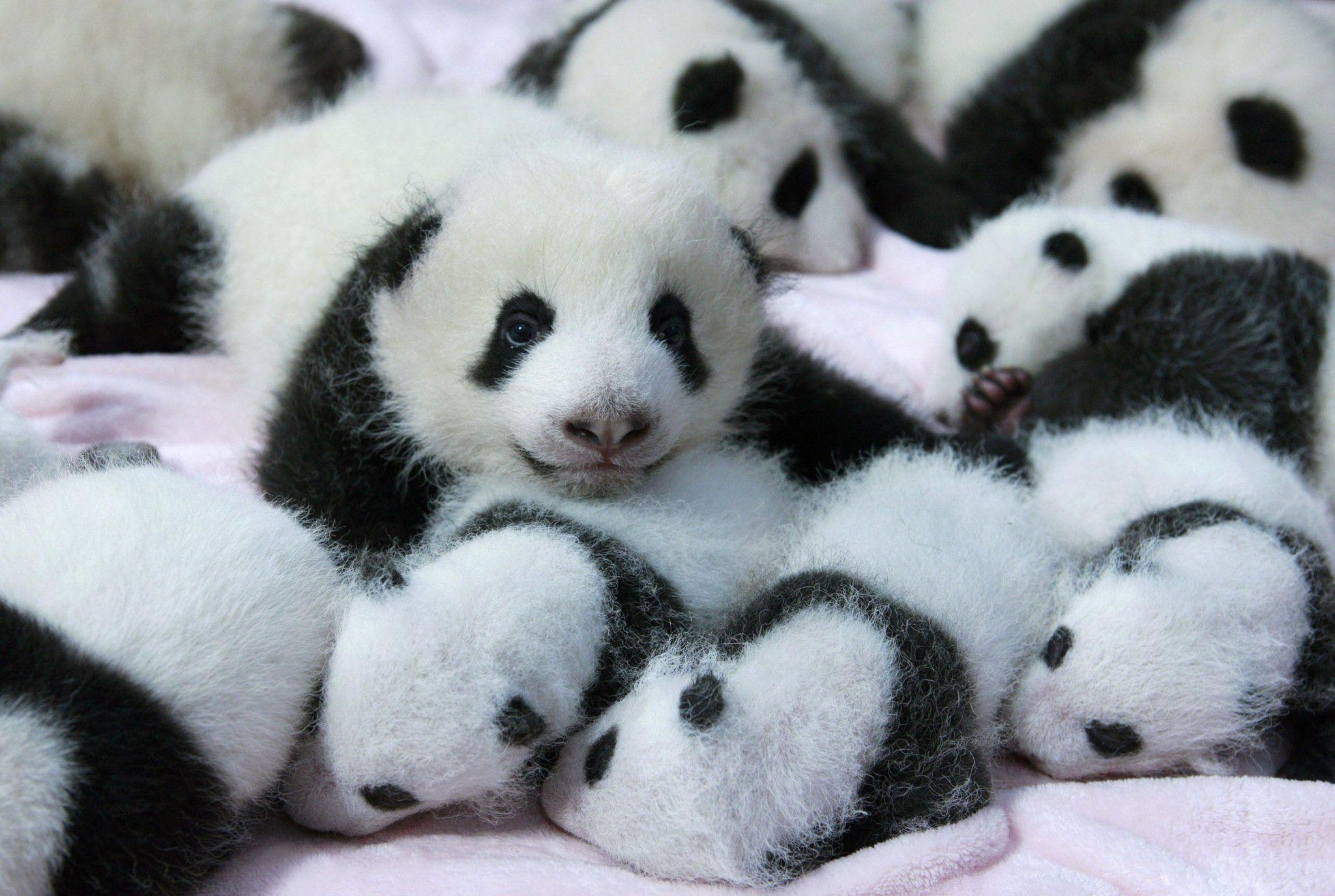 2048x1375 Panda Pandas Baer Bears Baby Cute Iphone Wallpaper #24045 - The HD .