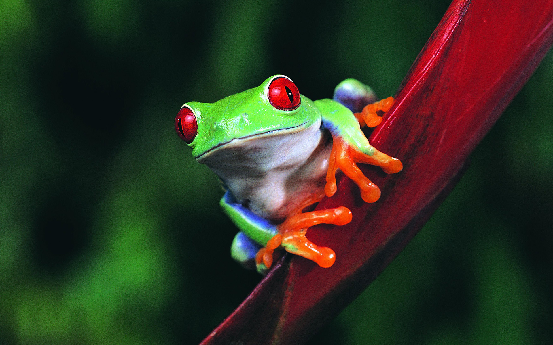 1920x1200 Animals Frogs Wallpaper  Animals Frogs