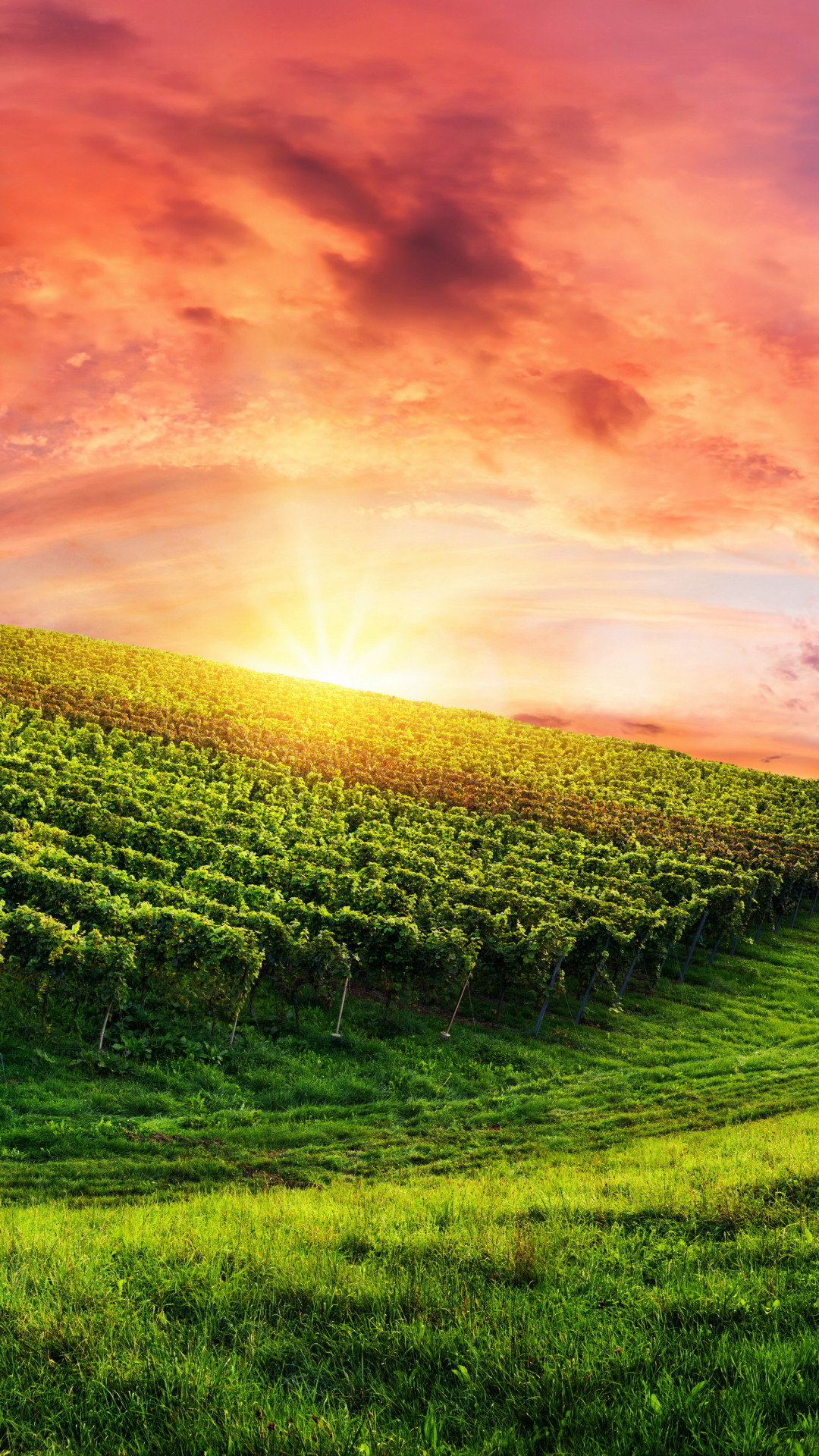 1080x1920 Man Made / Vineyard () Mobile Wallpaper