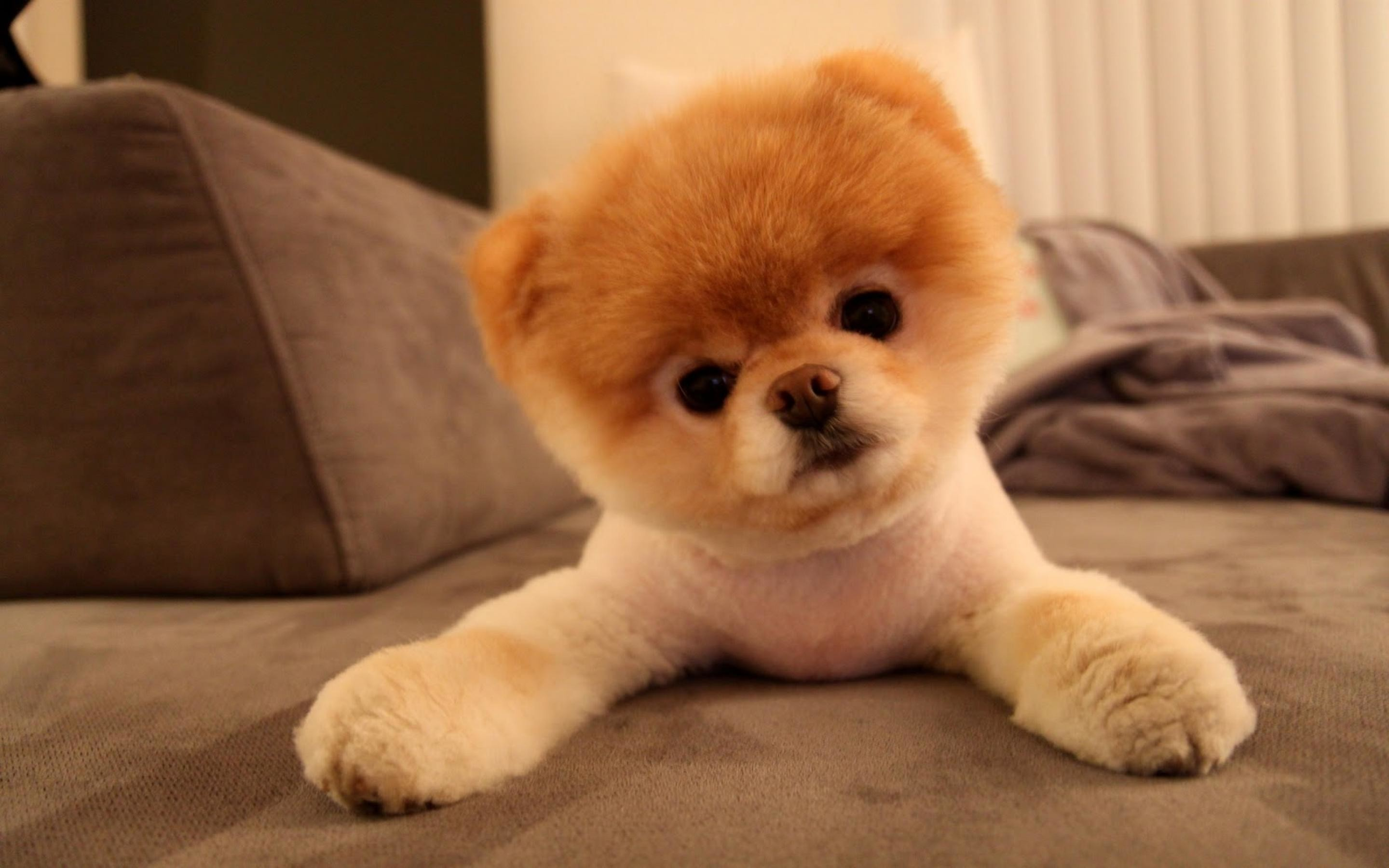 2880x1800 Cute Boo Dog Wallpapers | Latest Dogs HD Wallpapers