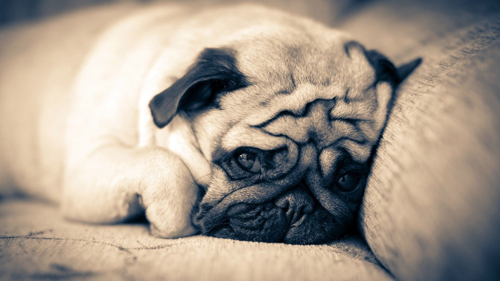1920x1080 Pug Wallpapers keywords HERE 1920×1080 Pug Wallpaper (37 Wallpapers) | Adorable  Wallpapers