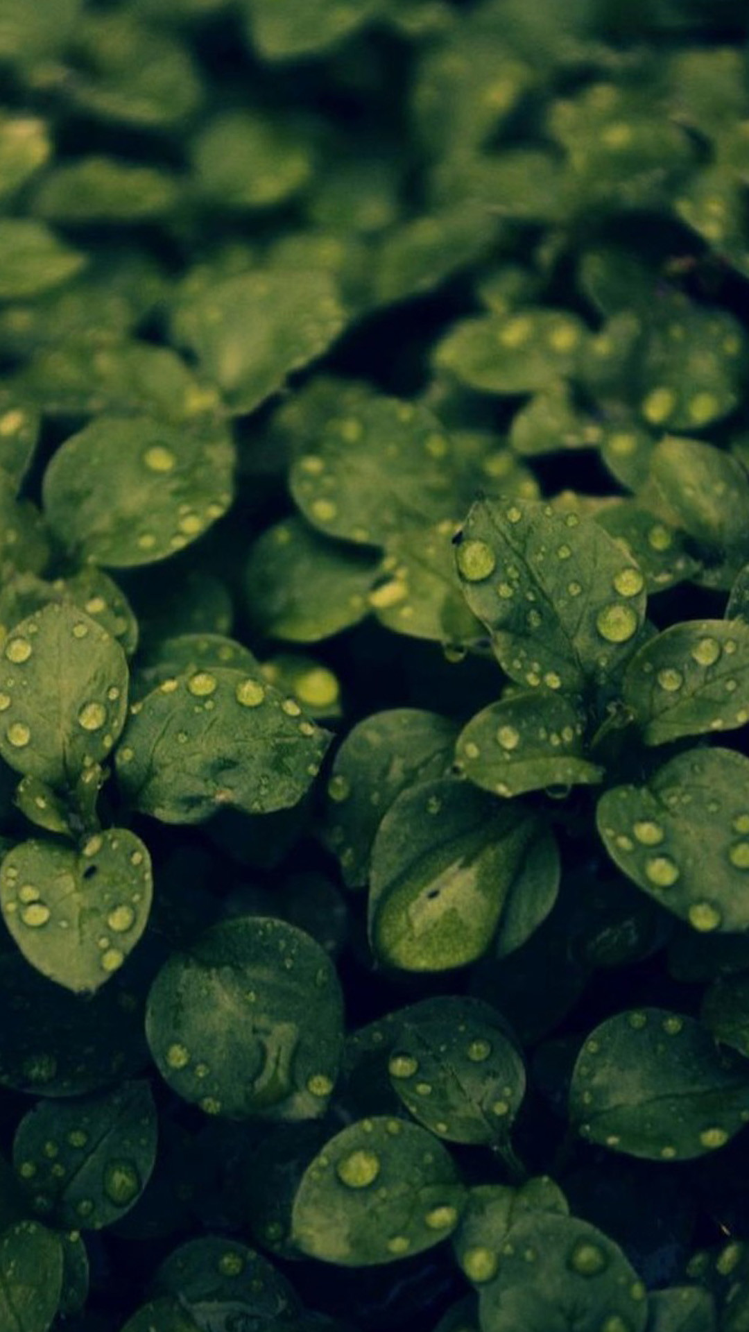 1080x1920 ... HD green leaves and water drops iOS 9 Wallpaper iOS 9 Wallpaper HD