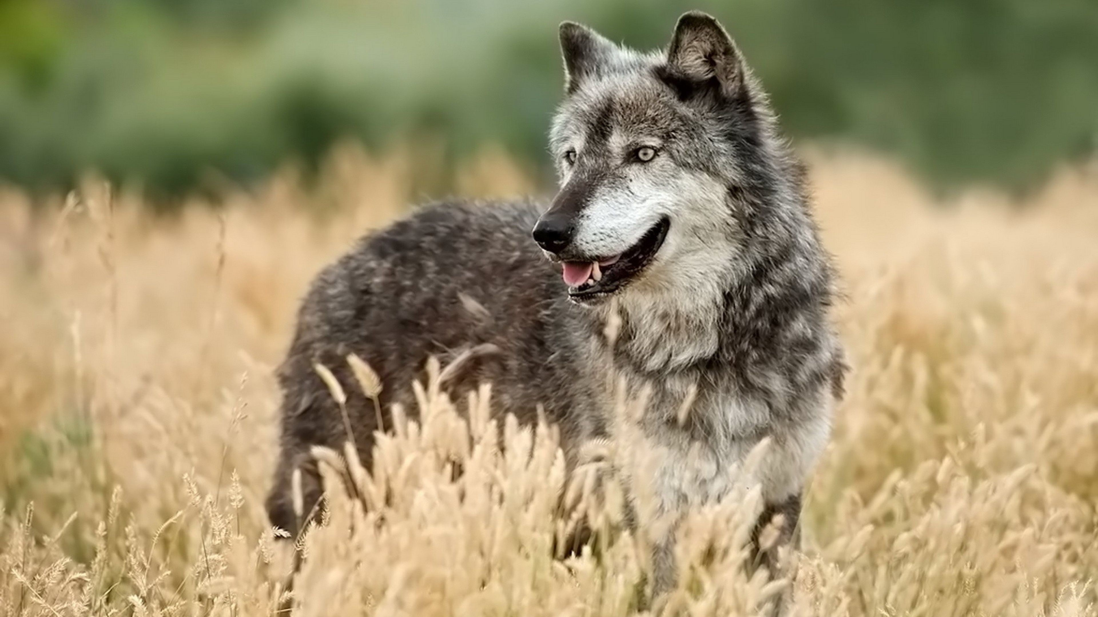 Hd Wolf Backgrounds: 4K Wolf Wallpaper (43+ Images