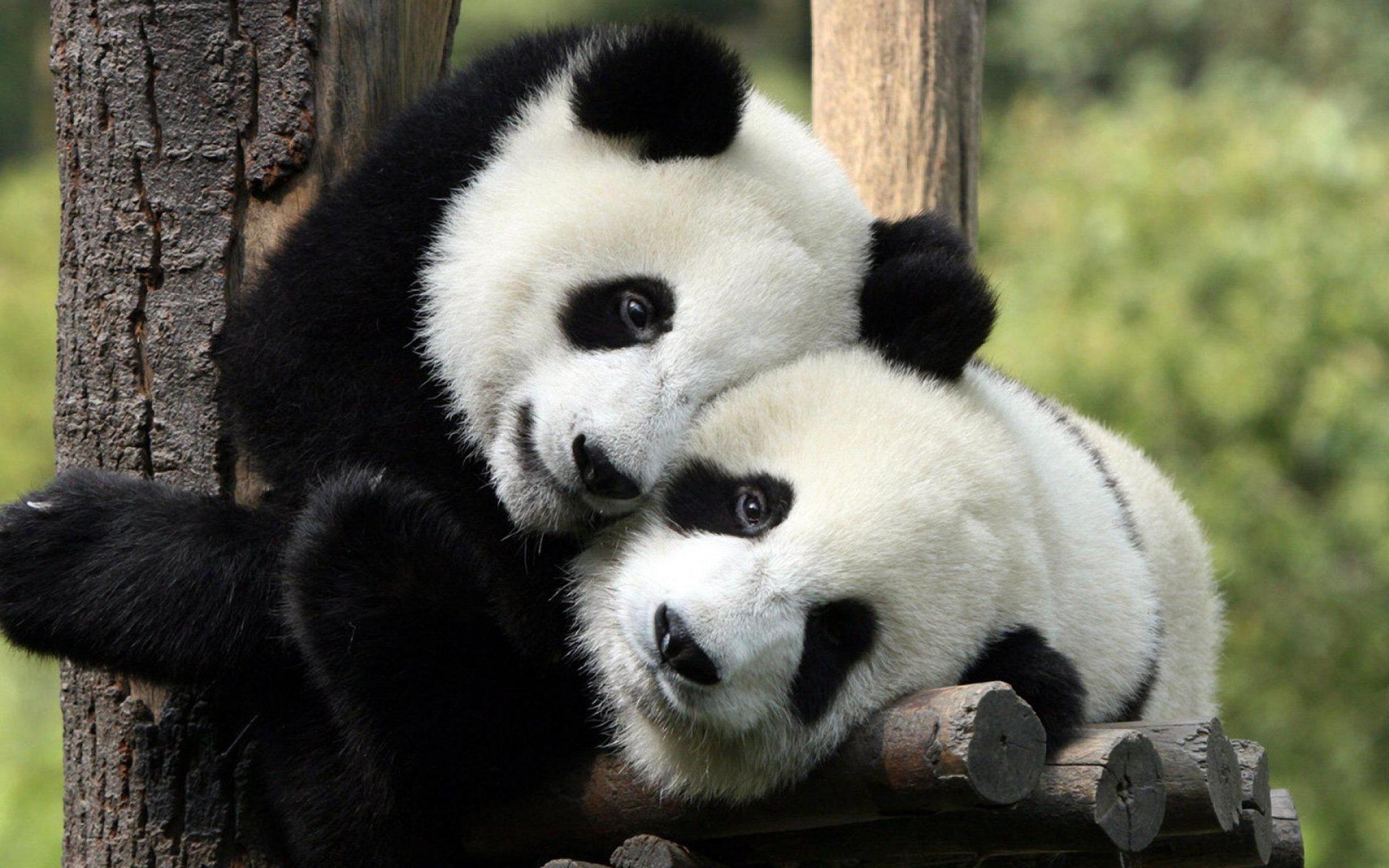 Panda Bear Background (44+ images)