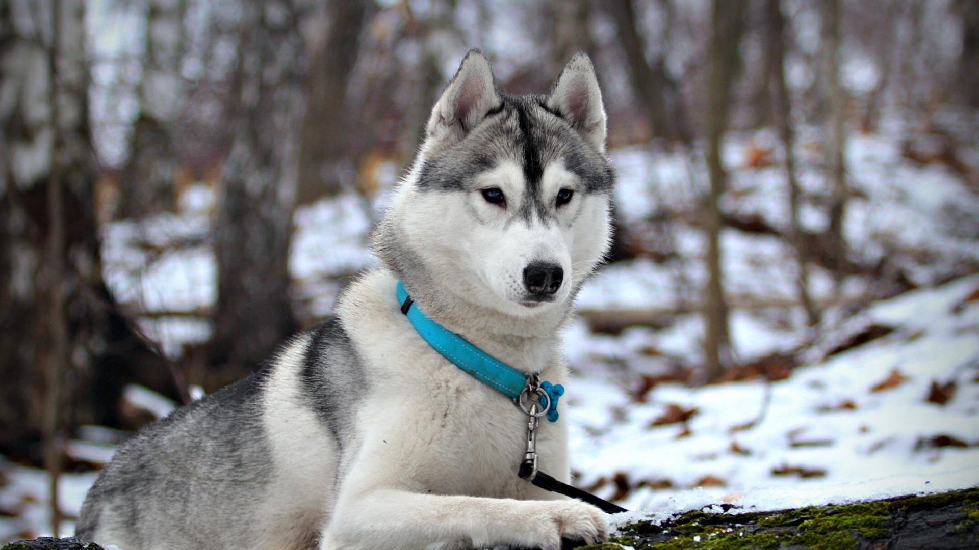 Perros Husky Siberiano Fondos De Pantalla Hd De Animales 2: Siberian Huskies Wallpapers (86+ Images