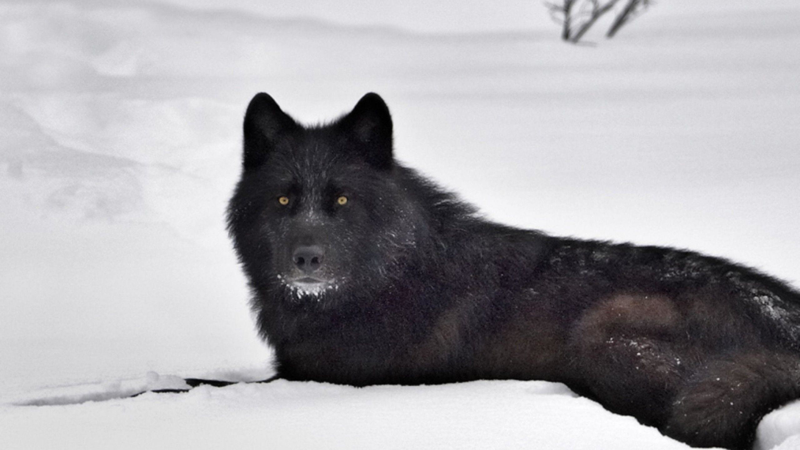 2560x1440 Black Wolf in Snow Wallpapers - HD Wallpapers Inn