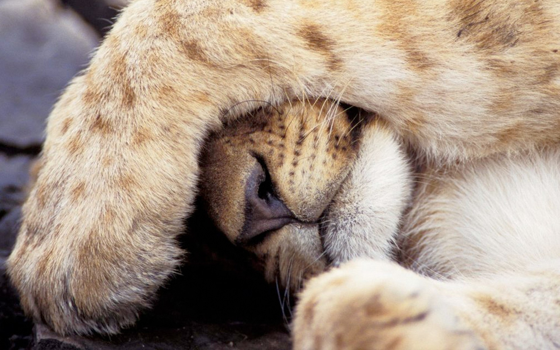 1920x1200  Wallpaper lion cub, lion, paw, hide behind, baby, fear